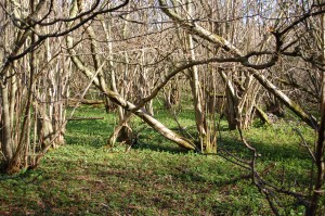 Mature coppice