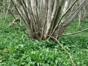 Lime_coppice